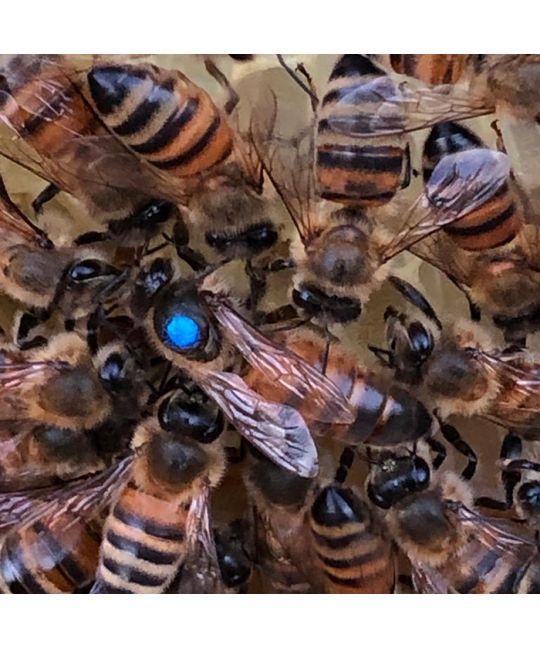 Essex Buckfast Queen, exclusive to BS Honey Bees